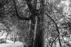 (kuuan) Tags: voigtländerheliarf4515mm manualfocus mf voigtländer15mm aspherical f4515mm superwideheliar apsc tree lebensbaum thaja zypresse landscape mostviertel viewpoint bw edlapark amstetten