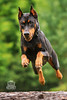 Picture of the Day (Keshet Kennels & Rescue) Tags: adoption dog dogs canine ottawa ontario canada keshet large breed animal animals kennel rescue pet pets field nature summer photography doberman pinscher jump leap superhero fast fun play super hero high