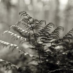 fern (lawatt) Tags: fern frond keblerpass colorado film 120 portra400 hasselblad 120mm desat