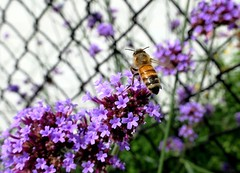 Flying in for lunch -  Happy Fence Friday (shelly.morgan50) Tags: shellymorgan50 panasoniclumixdczs200 nature happyfencefriday fencefriday fence bee honeybee savethebees pollinator flowers flower flowerphotography usa midwest light sunshine hff bokeh fencedfriday