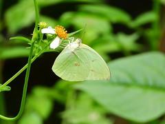 DSCN9859 - #遷粉蝶 (#淡黃蝶) 銀斑型 雄 Catopsilia pomona (Fabricius, 1775)