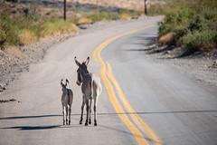 Mama & Me (ap0013) Tags: arizona oatman oatmanarizona route 66 route66 wild burro donkey wildburro baby mother mama west western