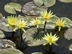 Chicago, Garfield Park Conservatory, Outside Pond, Yellow Water Lilies (Mary Warren 13.9+ Million Views) Tags: chicago garfieldparkconservatory nature flora plants green leaves foliage yellow blooms blossoms flowers waterlily