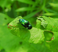 Leaf beetles:  24.8.19. (VolVal) Tags: dorset bournemouth hengistburyhead insects leafbeetles mating august