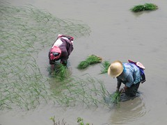 Replanting Rice (D-Stanley) Tags: yuanyang riceterraces duoyishu yunnan china