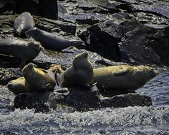 Seals on the rocks (wfgphoto) Tags: seals rocks waves