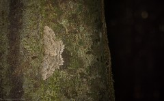 Ectropis gravis (dustaway) Tags: insecta lepidoptera geometridae ennominae ectropisgravis australianmoths geometermoth geometridmoth australianinsects rprr rotaryparkrainforestreserve lismore northernrivers nature nsw australia australianwildlife
