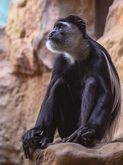 Antwerp Zoo (xdirtyhouse) Tags: black and white colobus monkey outdoors no people animal wildlife animals in the wild ape giraffe themes nature one leaf frog beauty green tree primate closeup amphibian walking zoo nikon z6