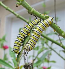Monarch caterpillars on milkweed (Vicki's Nature) Tags: monarch caterpillars two stripes milkweed zinnias yard georgia vickisnature canon s5 0862