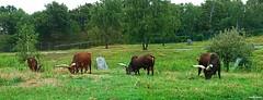 bue dei watussi (archgionni) Tags: animali animals africa bue watussi corna erbivori parco safari pombia