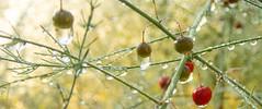 Rain drops on asparagrass (Brett of Binnshire) Tags: garden usa ferns gouldsboro plants berries manipulations hancockcounty binnshire maine 2391 locationrecorded