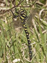 Golden-ringed Dragonfly (JaneTurner68) Tags: goldenringeddragonfly dragonfly insect speanbridge scottishhighlands scotland canonsx70 canon
