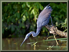 Adapt or starve (WanaM3) Tags: wanam3 nikon d7100 nikond7100 texas pasadena clearlakecity horsepenbayou bayou outdoors nature wildlife canoeing paddling branch animal bird heron tricoloredheron egrettatricolor