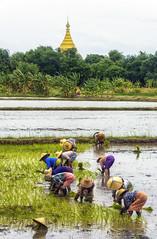 La pagoda e la risaia (forastico) Tags: myanmar ava birmania asia risaia mondina forastico nikon d7100 earthasia