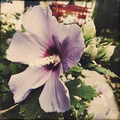 Pastel Purple Morning (Twang Your Head) Tags: roseofsharon hipstamatic florence sussex photooftheday flowers macro beautiful