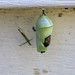 Monarch Butterfly Chrysalis Destroyed by Predator(s) 1