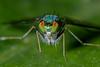 I am huge... (chandra.nitin) Tags: animal diptera insect longleggedgreenfly macro nature outdoor wildlife flydayfriday