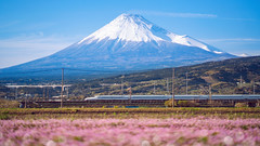 Train and flower field with fuji mountain background (anekphoto) Tags: fujiyama japan spring trip japanese mt mount railways flowerfield line mtfuji blossom nature asia asian transport shizuoka kanto farm honshu countryside landscape travel fujisan fast transportation highspeed sakura train landmark volcano railway mountfuji bullettrain mountain speed express flower pink field fuji shibazakura railline transit traincar tokyo shinkanzen rail