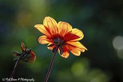 20190825-2969-Dahlia-bw (Rob_Boon) Tags: dahlia macro on1 plant tegenlicht wijlre robboon