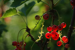 Light in shadow (LB1415) Tags: sunlight summer june redcurrant ribes pentax k200d jpg sooc macro closeup red slovenia europe lb1415 allrightsreserved nature berries juicy fruit leaves bokeh green dof foliage flora light interesting glow wow ribez poletje