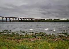 Swanning Around (..Jim) Tags: berwickupontweed royalborderbridge