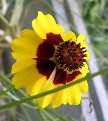 Coreopsis tinctoria, aka dyers coreopsis (honestabby) Tags: coreopsis