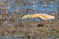 Crabier chevelu (MichelReyné) Tags: oiseau bird crabierchevelu squaccoheron