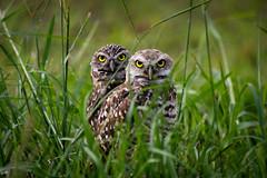 DSC_0311 (AustentatiousOne) Tags: burrowing owl two pair couple duo small brown animal nature bird yellow eye beak feather close portrai