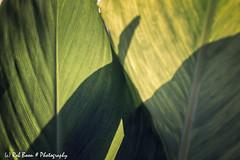 20190825-2960-Blad-bw (Rob_Boon) Tags: blad macro on1 plant tegenlicht wijlre robboon