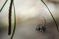Lost battle. (Azariel01) Tags: 2019 antwerpen belgique belgium zoo spider araignée araignéesportecroix épeirediadème araneusdiadematus crownedorbweaver crossspider europeangardenspider macro closeup toile toiledaraignée spiderweb web lostbattle batailleperdue