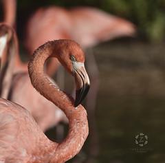Flamingo III (Zara Calista) Tags: flamingo bird bokeh nikkor nikon