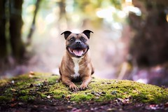 #staffordshire bull terrier #Forest #perfectmoment #dogs #staffie (Noémie_Angel's_Winks Photograpy) Tags: perfectmoment dogs forest staffie staffordshire