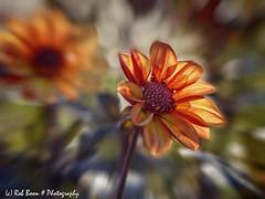 20190825-2964-Dahlia-bw (Rob_Boon) Tags: blur dahlia macro on1 plant tegenlicht wijlre robboon