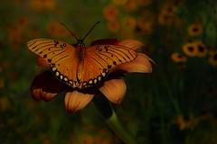 Fairytales Can Come True (Christina's World : updated bio) Tags: butterfly flowers textures garden gold green queen 0659 8460 daisies impressionism danausgilippus gulffritillaryagraulisvanillae