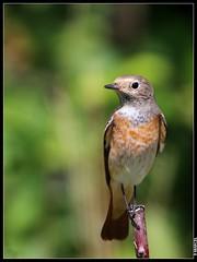 Rouge-queue (boblecram) Tags: oiseau passereau bird rougequeue phoenicurus muscicapidés