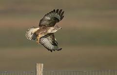 Buteo Buteo (billywhiz07) Tags: common buzzard bird uk scotland flight buteo