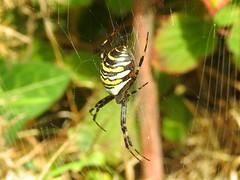 Wasp Spider (Argiope bruennichi) (Nick Dobbs) Tags: arachnid spider wasp argiope bruennichi outdoor depth field animal insect heath heathland dorset macro
