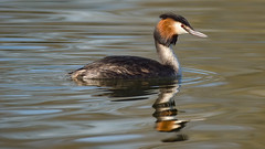 a Crested Grebe (Franck Zumella) Tags: grebe crested huppe oiseau bird nature animal wildlife sauvage lac lake water eau reflection reflexion color couleur sony a7s a7 tamron 150600