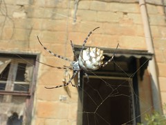 Lobed Orb Spider (Argiope lobata) (Nick Dobbs) Tags: lobed orb spider argiope lobata arachnid malta