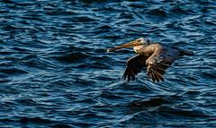 pélican3 (1 sur 1) (Dtwac) Tags: pelican pélican sanfransisco pier39