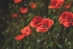(CarolienCadoni..) Tags: sony ilcea9 sel2470gm poppies red bokeh dof floers