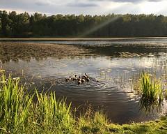 Some birds swimming away (halleluja2014) Tags: family summer birds swimming evening sweden falun herrhagen kvällsol slätta july