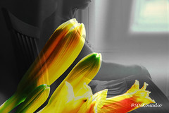 Yellow-Flower Buds (Stephenie DeKouadio) Tags: art artistic artwork abstract abstractart abstractflower abstractflowers macro macroabstract flowersabstract flowerabstract flower flowers macrophotography yellow beautiful beauty colorful darkandlight light shadow shadows woman lovely