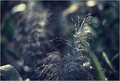 * (Ulla M.) Tags: tau dof bokeh analogphotography analogue analog filmphotography filmshooter film filmisnotdead m42 pentacon135mmf28 tetenalcolortec reflectaproscan10t umphotoart