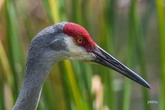 Sandhill Crane (jt893x) Tags: 150600mm antigonecanadensis bird crane d500 jt893x nikon nikond500 portrait sandhillcrane sigma sigma150600mmf563dgoshsms