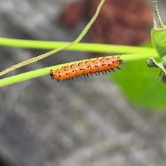 Gulf fritillary caterpillar on passion vine beside deck steps (moccasinlanding) Tags: camera2 photoapps iphonexsmax caterpillars gulffritillary zone8b gardening passiflora hostplants