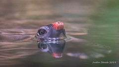 Turtle Surfacing (strjustin) Tags: turtle animal beautiful nationalaquarium reflection