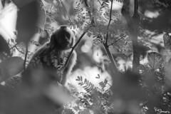 Brown Capuchin Monkey (Kusi Seminario) Tags: mono money capuchin machin tuftedcapuchin blackcappedcapuchin mammal mamifero bw blackandwhite blancoynegro rainforest selva jungle amazonia amazon amazonas peru southamerica sudamerica madrededios tambopata sandoval outdoors wildlife nature travel