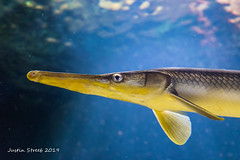 Aquarium Gar (strjustin) Tags: national aquarium fish beautiful animal