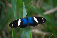 Heliconius sara apseudes (Hübner, 1813) (Edson Roberto Potim) Tags: heliconiussaraapseudes lepidoptera nymphalidae heliconiinae borboleta heliconius natureza